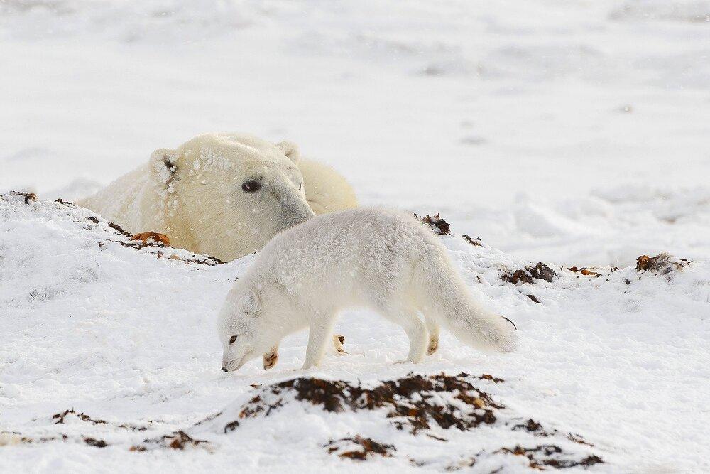 Napping Polar Bear and Arctic Fox - Nunavut, Canadian Arctic
