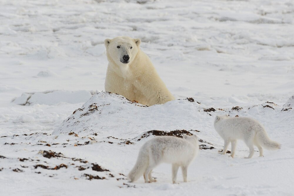 Polar Bear and Arctic Fox - Nunavut, Canadian Arctic