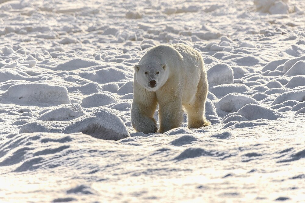 Large Male Polar Bear Approaching at the Edge of Hudson Bay - Nunavut, Canadian Arctic