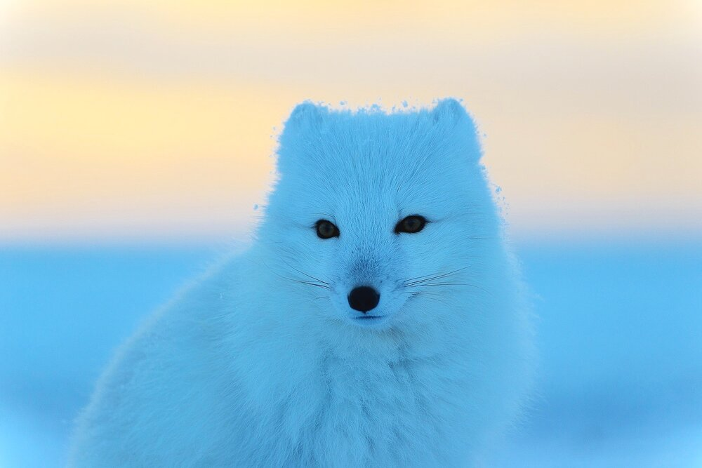 Portrait of an Arctic Fox at Sunset - Nunavut, Canadian Arctic