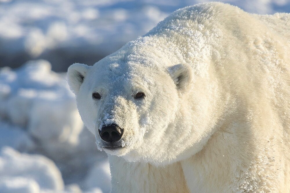 Portrait of a Polar Bear - Nunavut, Canadian Arctic