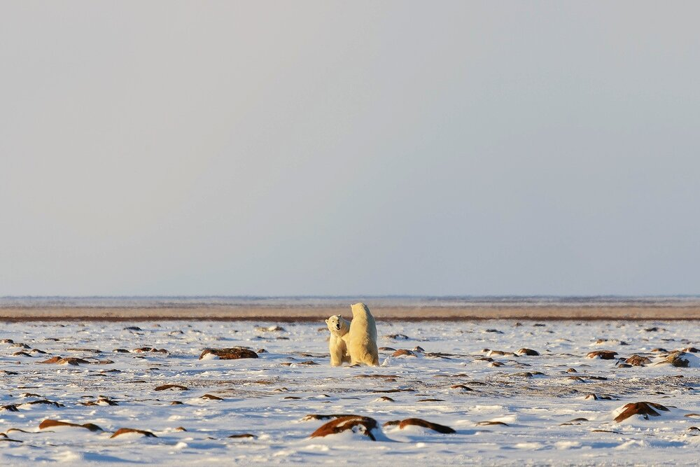 Male Polar Bears Sparring on the Tundra 1