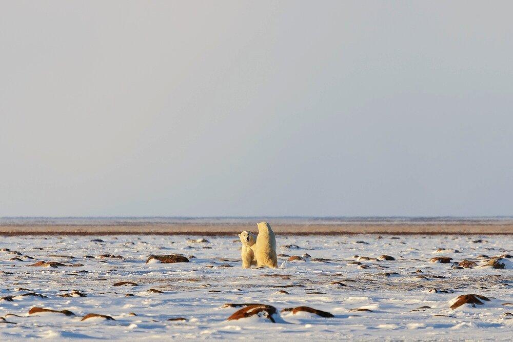 Male Polar Bears Sparring on the Tundra 1 - Nunavut, Canadian Arctic
