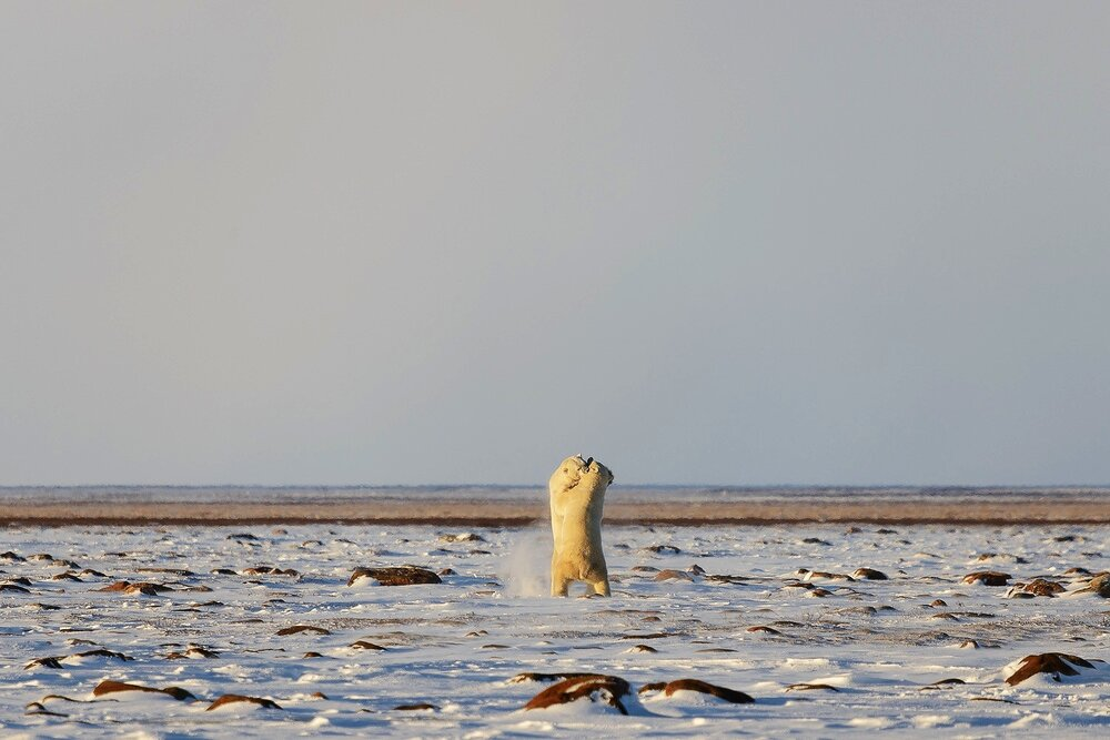 Male Polar Bears Sparring on the Tundra 2 - Nunavut, Canadian Arctic