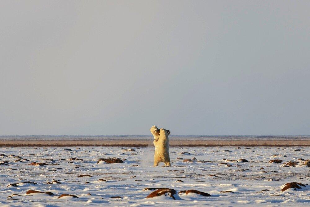 Male Polar Bears Sparring on the Tundra 3 - Nunavut, Canadian Arctic