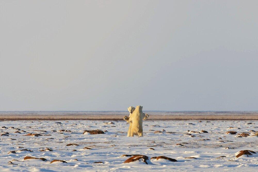Male Polar Bears Sparring on the Tundra 4 - Nunavut, Canadian Arctic