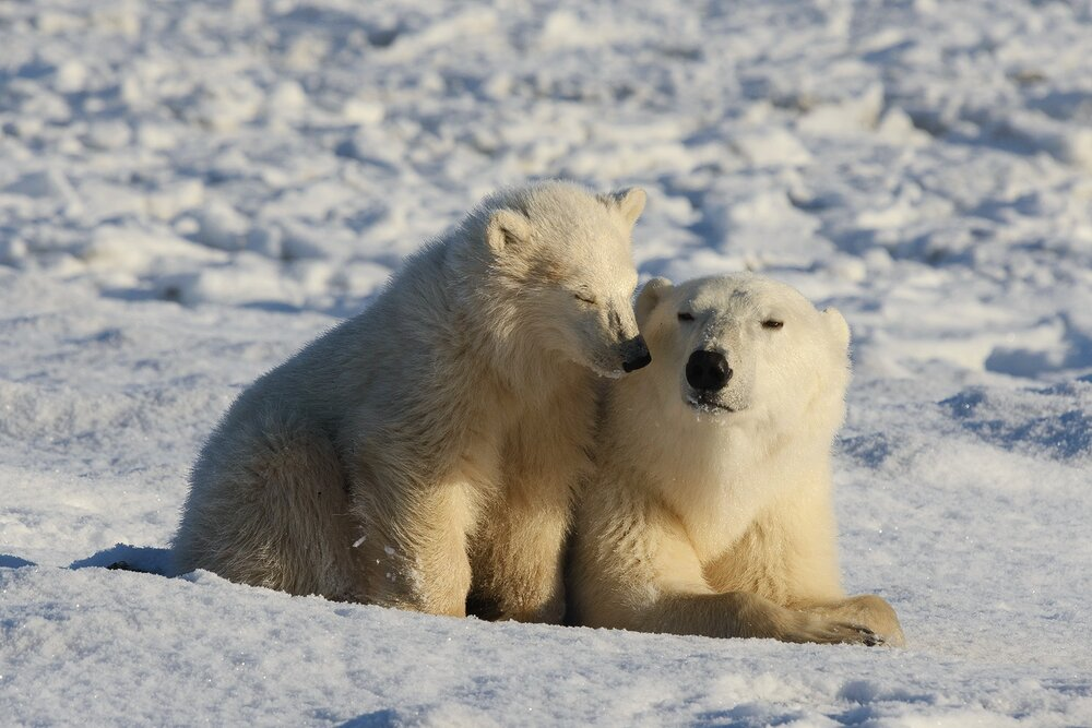 Mother and Cub Polar Bears Relaxing at the Edge of Hudson Bay 2 - Nunavut, Canadian Arctic