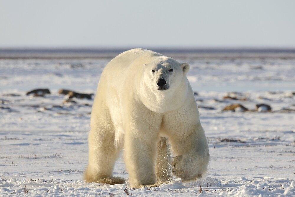 Large Male Polar Bear Up Close - Nunavut, Canadian Arctic