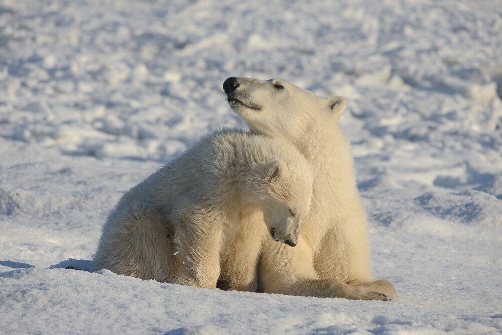 Mother and Cub Polar Bears Relaxed at the Edge of Hudson Bay 1