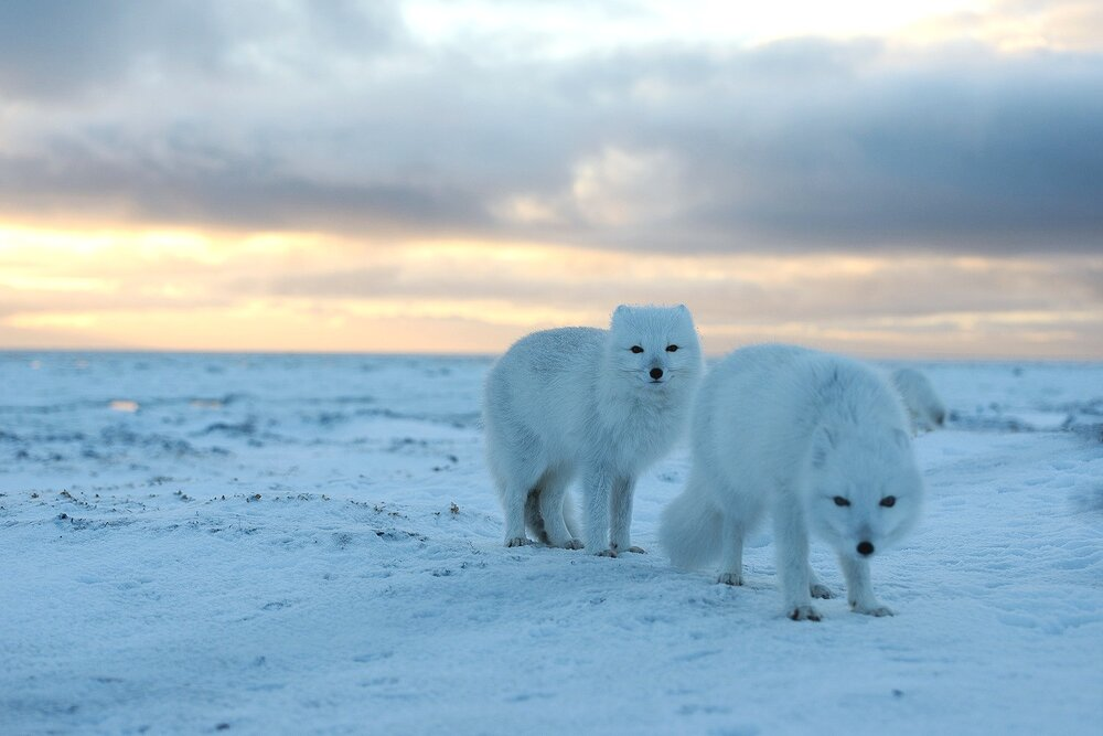 Portrait of Two Arctic Foxes on the Tundra at Sunset - Nunavut, Canadian Arctic