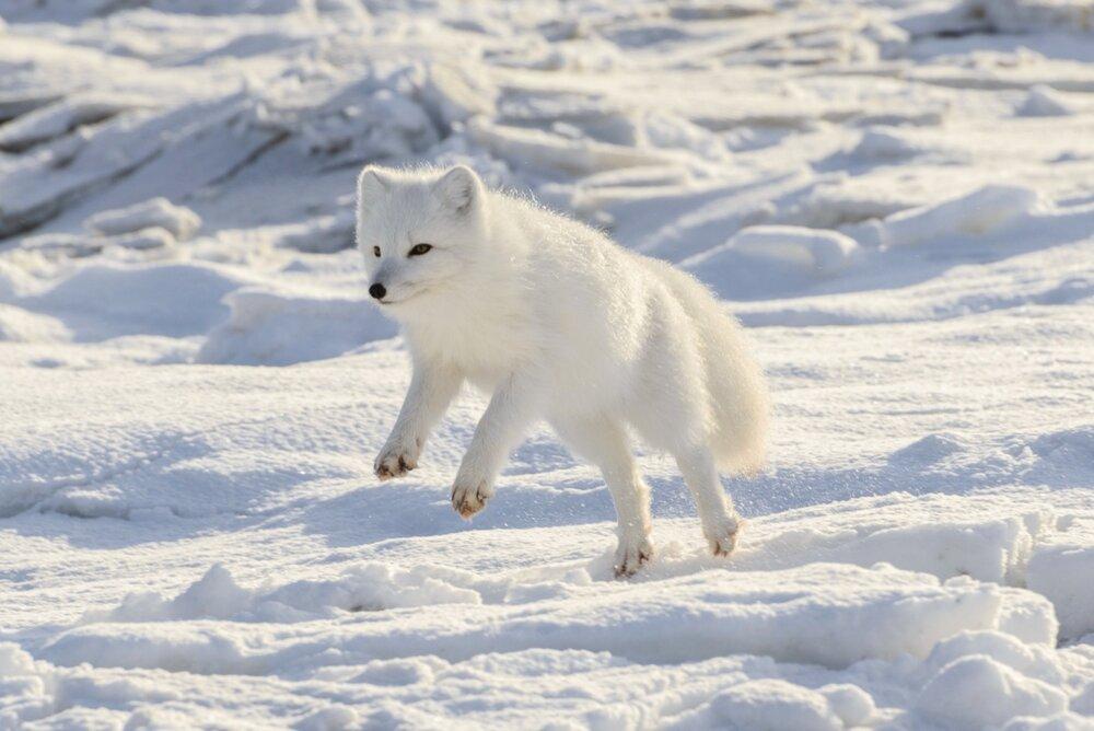 Arctic Fox Jumping - Nunavut, Canadian Arctic