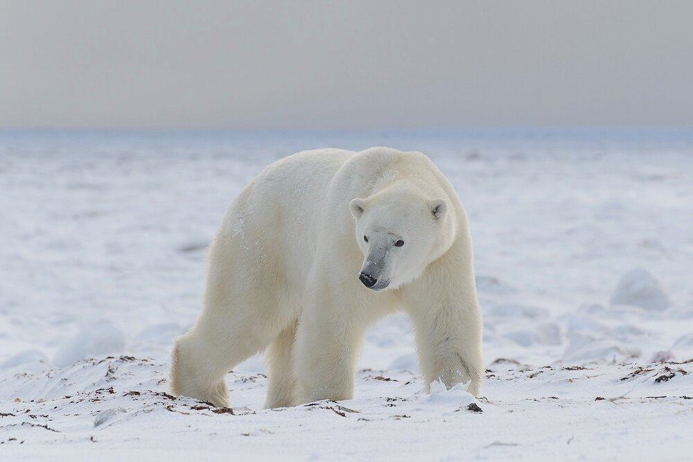 A Large Male Polar Bear Comes Ashore Off The Hudson Bay Sea Ice