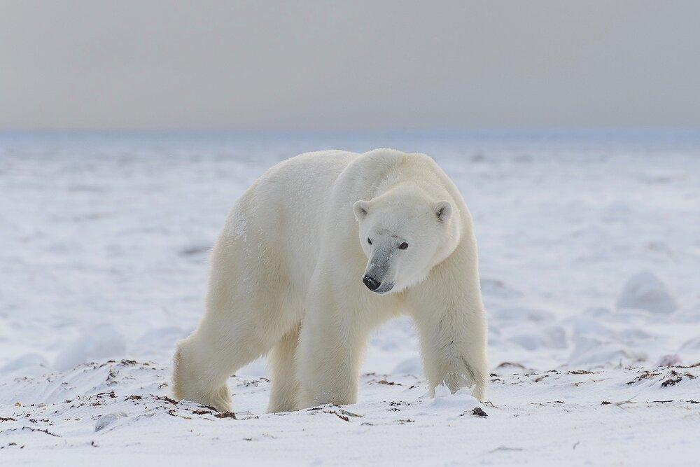 A Large Male Polar Bear Comes Ashore Off of The Hudson Bay Sea Ice - Nunavut, Canadian Arctic