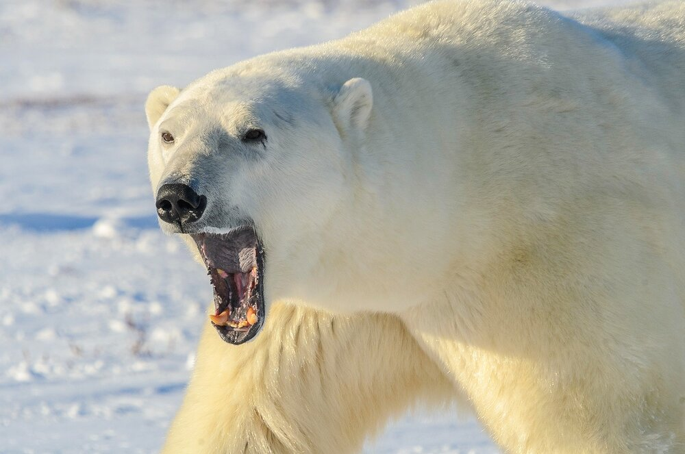 Polar Bear Up Close, Showing its Teeth