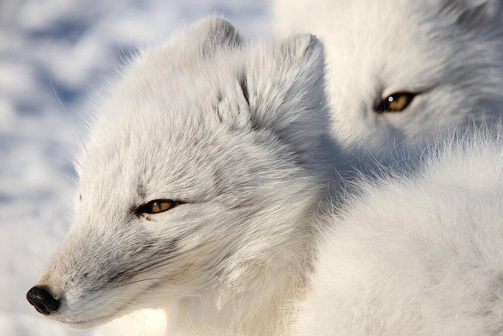 Arctic Fox Eyes - Nunavut, Canadian Arctic