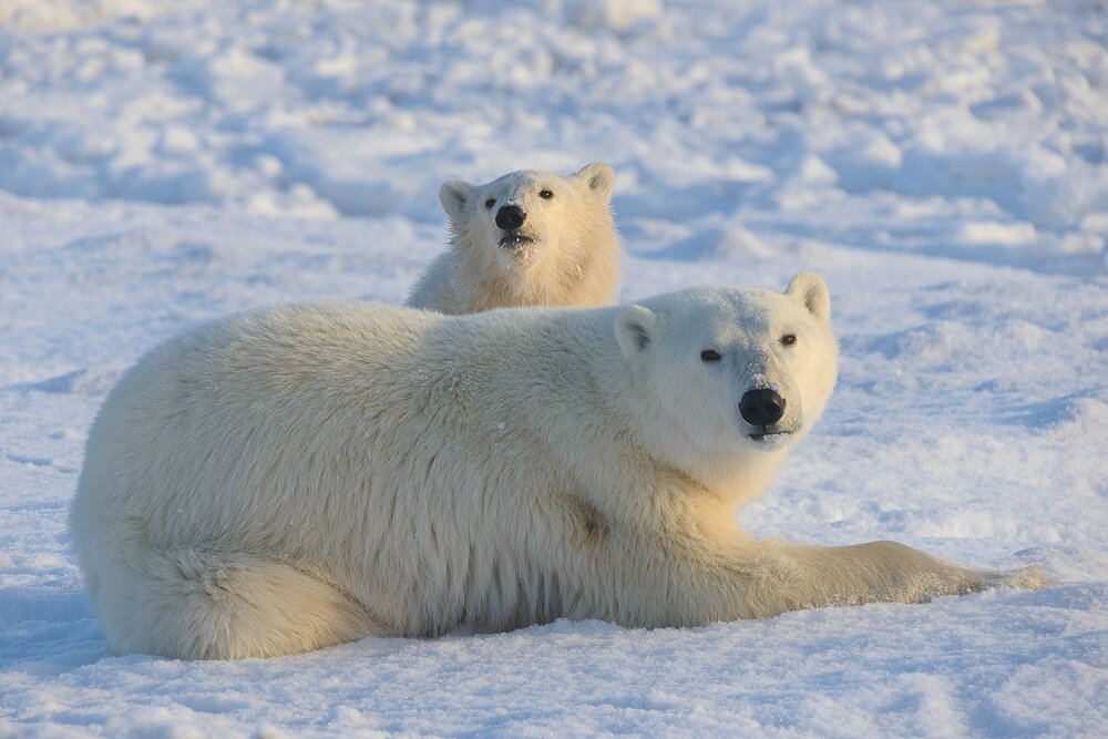 Mother and Cub Polar Bears Relaxing by the Shores of Hudson Bay 1 - Nunavut, Canadian Arctic