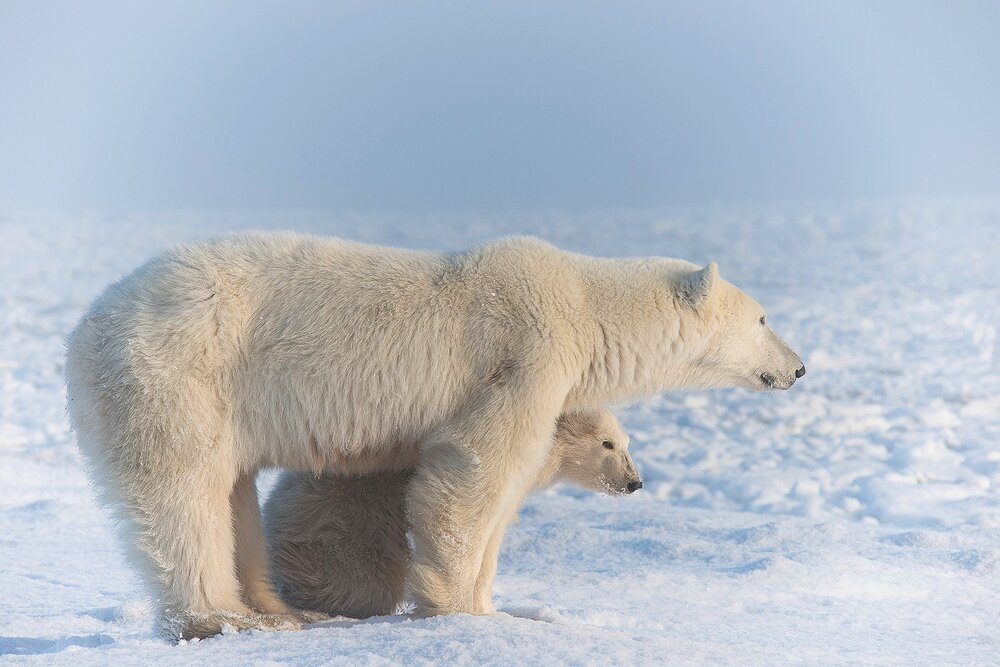 Mother and Cub Polar Bears Relaxing by the Shores of Hudson Bay 2  - Nunavut, Canadian Arctic