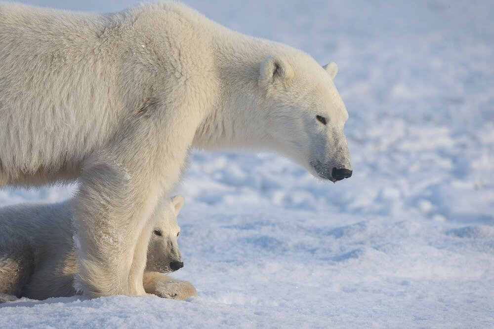 Mother and Cub Polar Bears Relaxing by the Shores of Hudson Bay 3 - Nunavut, Canadian Arctic