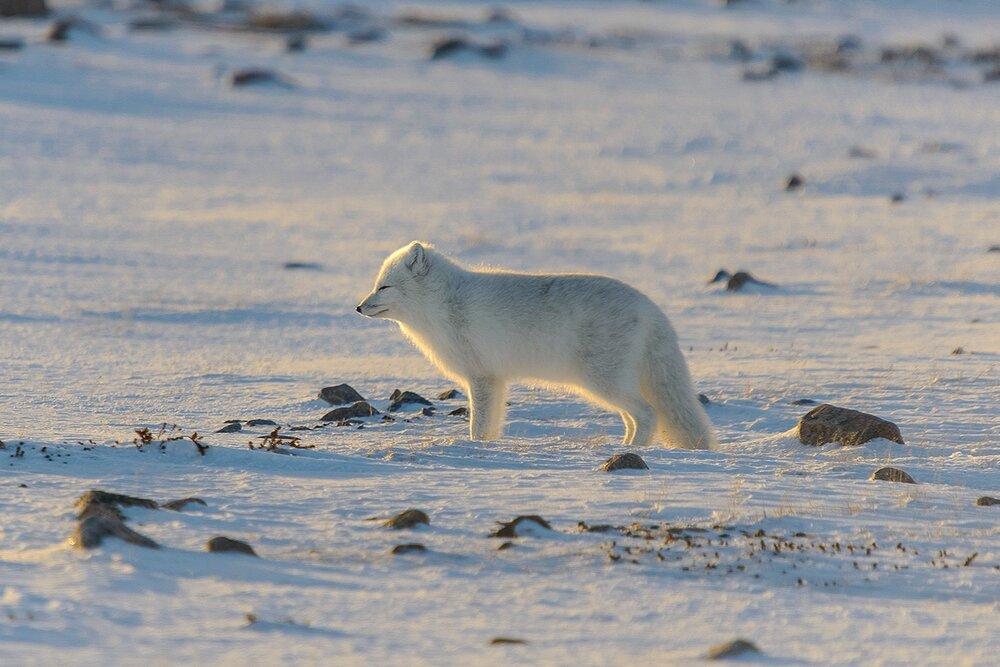 Arctic Fox Facing the Low Arctic Sun - Nunavut, Canadian Arctic
