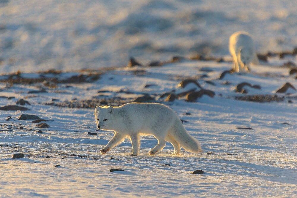 Arctic Foxes at Evening - Nunavut, Canadian Arctic