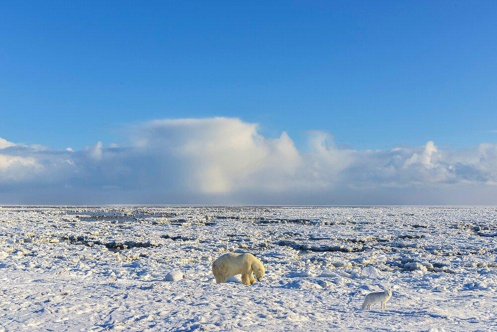 Polar Bear Digging For Clams Accompanied by an Arctic Fox - Nunavut, Canadian Arctic