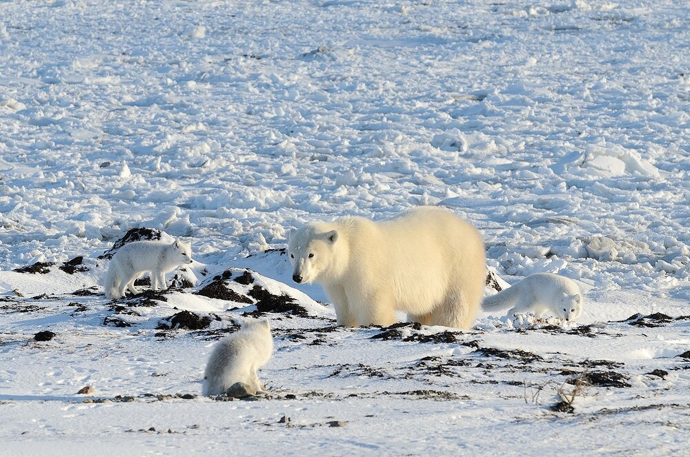 Polar Bear Surrounded By Arctic Foxes at the Shore of Hudson Bay - Nunavut, Canadian Arctic