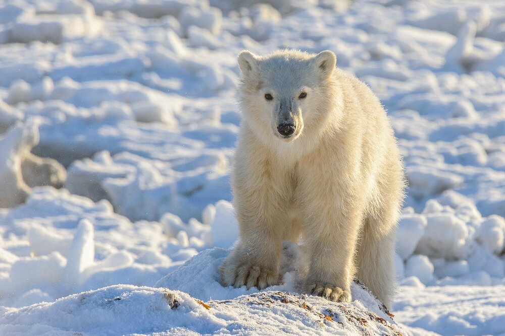 Portrait of a Polar Bear Cub