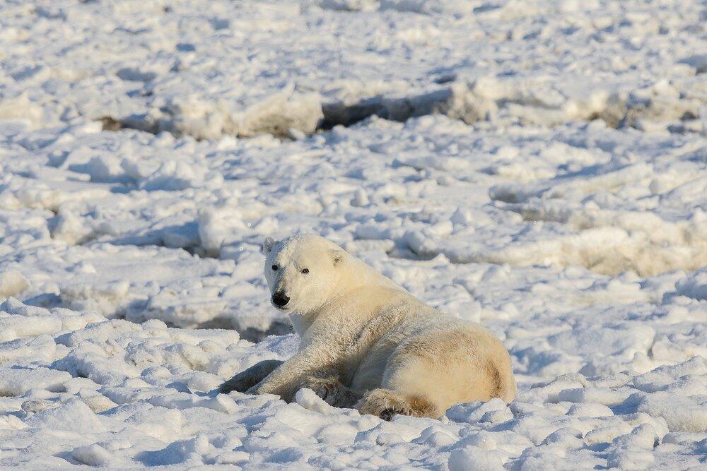 Polar Bear Relaxing at the Edge of the Ice - Nunavut, Canadian Arctic