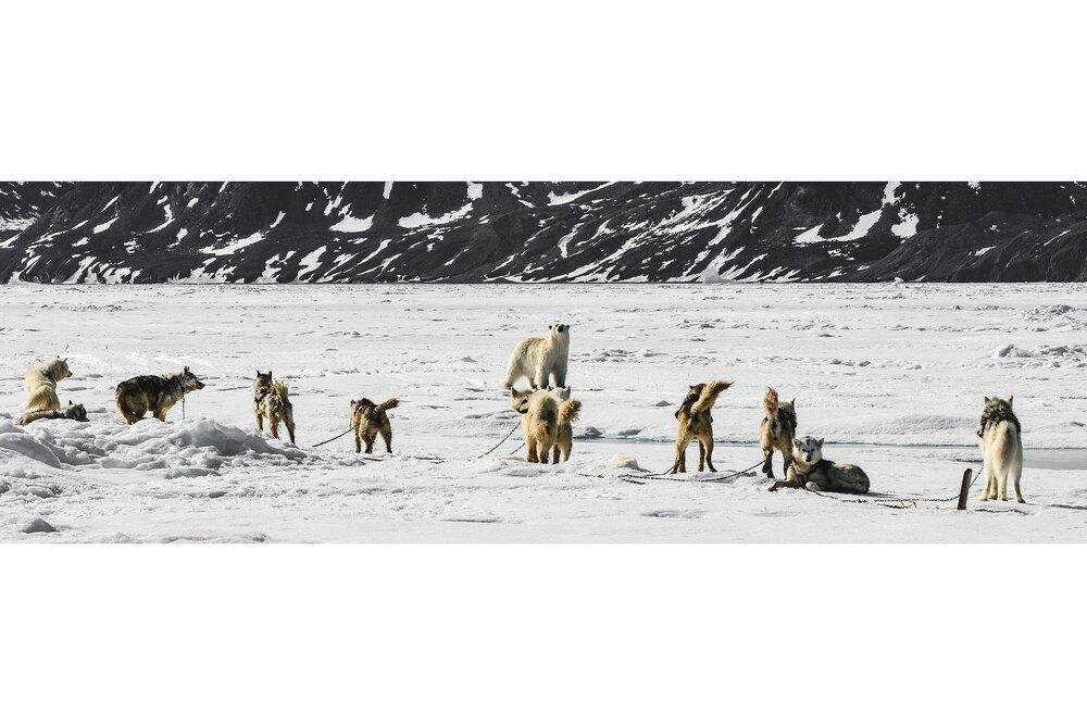 Sled Dogs Sound the Alarm - Nunavut, Canadian Arctic