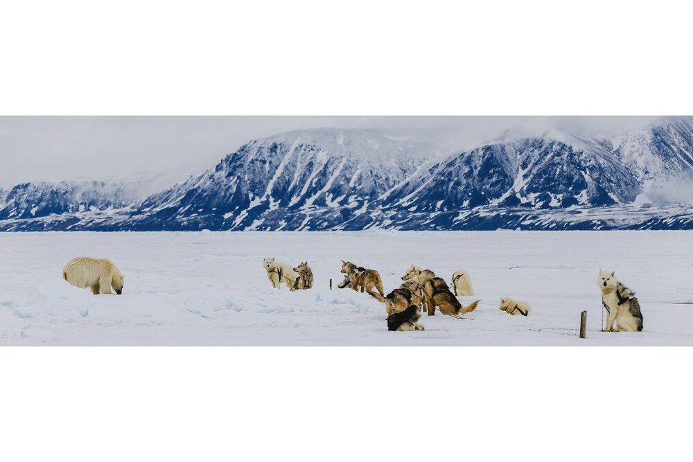 Polar Bear and Inuit Dog Team - Nunavut, Canadian Arctic