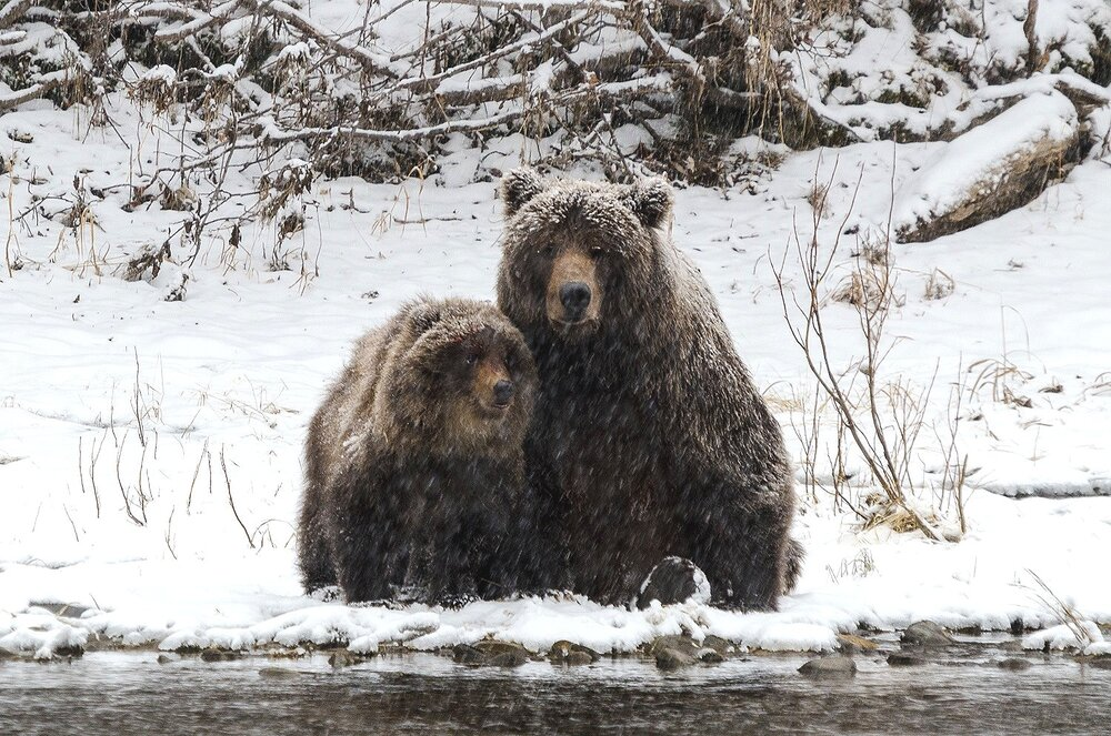 Mother and Cub Grizzlies - Yukon Territory, Canada
