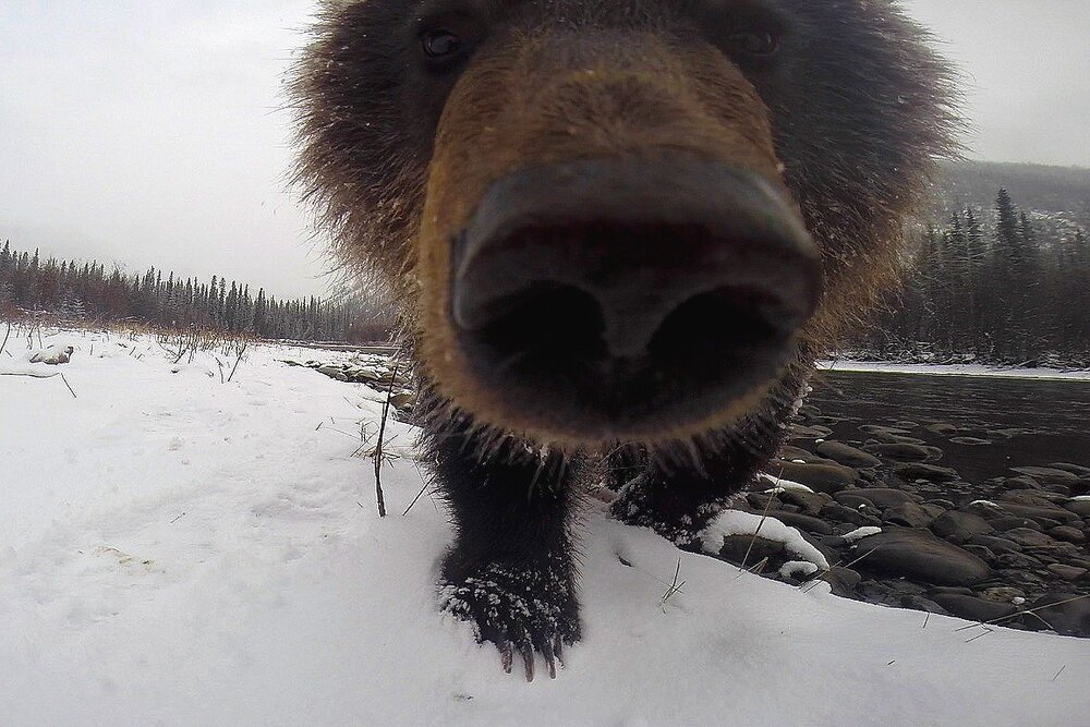 Grizzly Cub Nose-to-Nose and Eye-to-Eye - Yukon Territory, Canada
