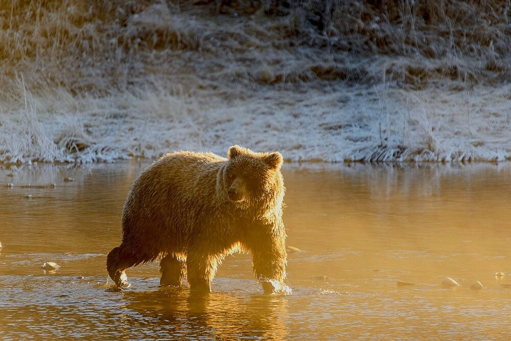 Golden Grizzly - Yukon Territory, Canada