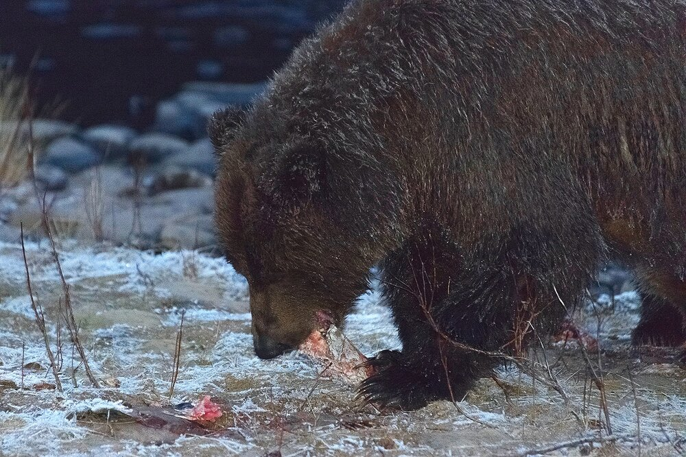 Ice Grizzly Feeding on Salmon at Night
