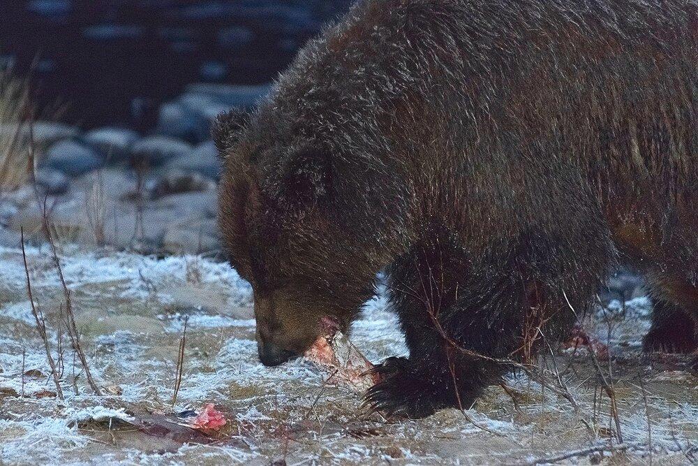 Ice Grizzly Feeding on Salmon at Night - Yukon Territory, Canada