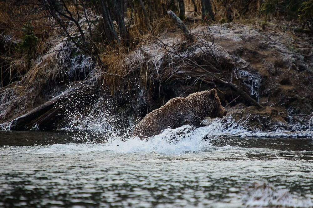 Grizzly Lunging For Salmon - Yukon Territory, Canada
