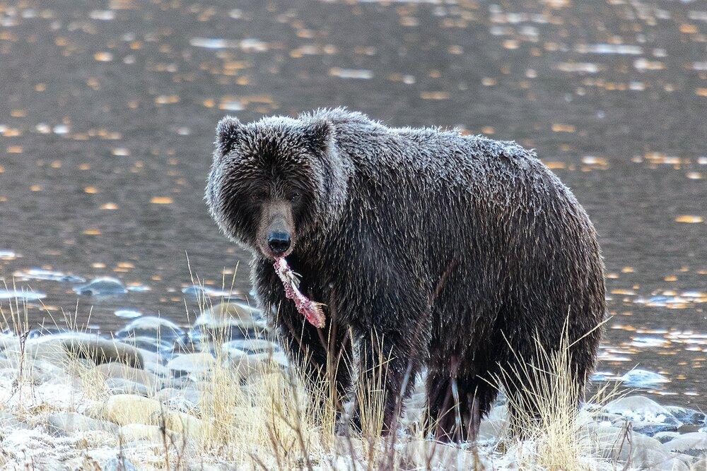 Grizzly Bear Eating Salmon - Yukon Territory, Canada