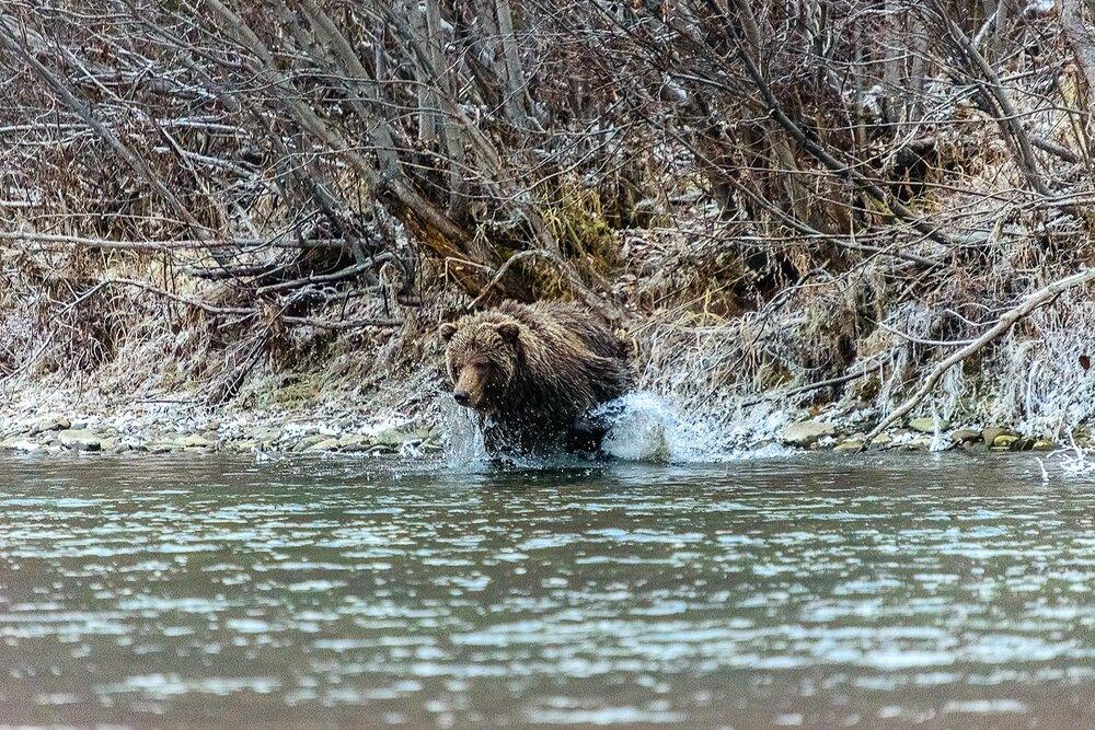Grizzly Bear Charging Salmon - Yukon Territory, Canada