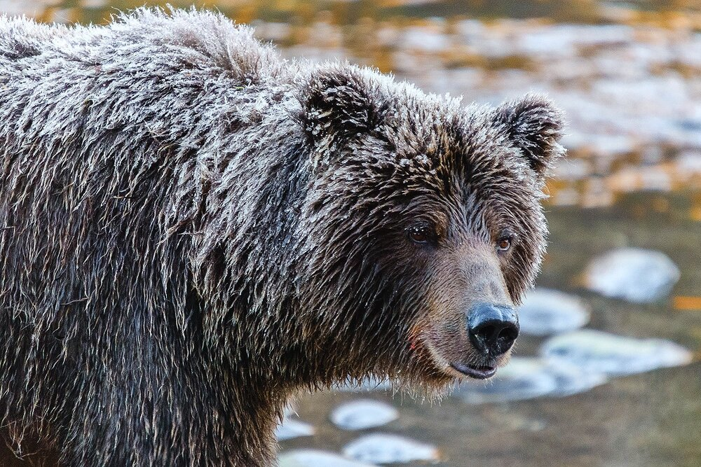 Portrait of an  Ice Grizzly - Yukon Territory, Canada