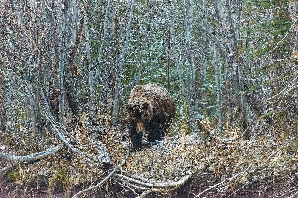 Grizzly Bear Emerging From The Forest - Yukon Territory, Canada