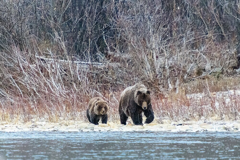 Mother and Cub Grizzly Bears - Yukon Territory, Canada