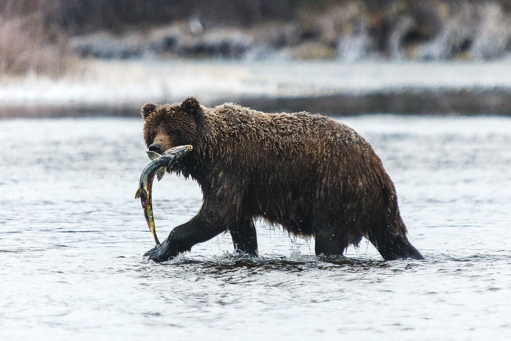 Grizzly Bear and Salmon - Yukon Territory, Canada