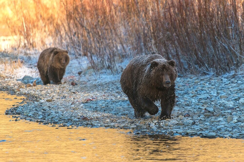 Mother Grizzly Bear Charging While Cub Watches