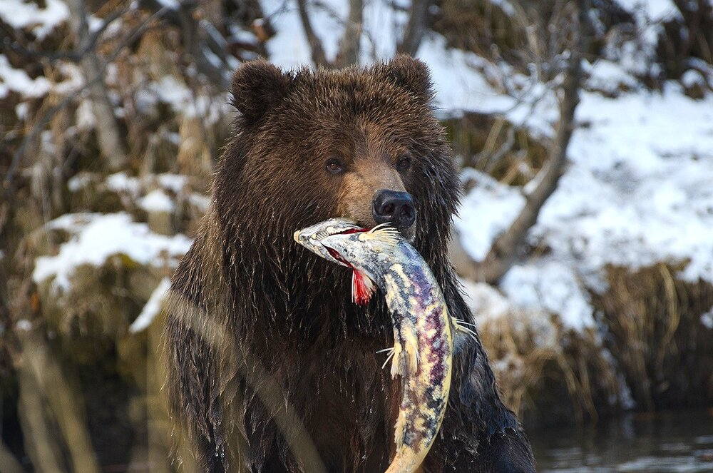 Portrait of a Grizzly Bear with a Salmon