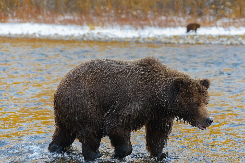 Grizzly Bear Hunting the Golden Shallows While Cub Watches