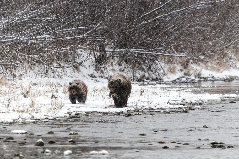 Mother Grizzly Bear and Cub Walking in Snowstorm