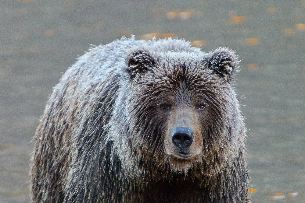 Face to Face With an Ice Grizzly - Yukon territory, Canada