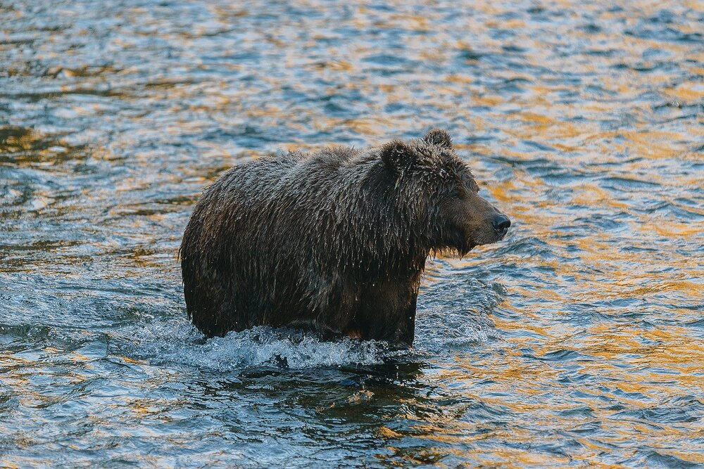 Grizzly Hunting For Salmon in Golden Water