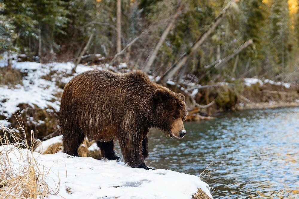 Ice Grizzly on the Riverbank - Yukon Territory, Canada