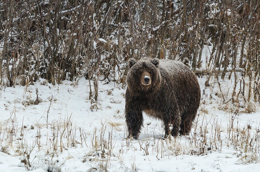 Snow-Covered Ice Grizzly - Yukon Territory, Canada